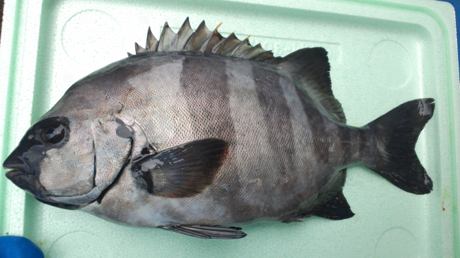イシダイ(成魚)